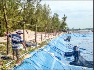 Người dân xã An Ninh Đông tự ý đốn hạ hàng trăm cây phi lao để đóng cọc chung quanh bờ bao các hồ tôm (Ảnh: Trình Kế/Nhân Dân)