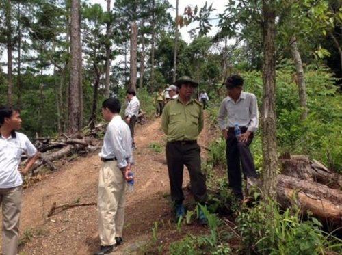Hiện trường vụ phá rừng thông (Ảnh: L.Trường/nld.com.vn)