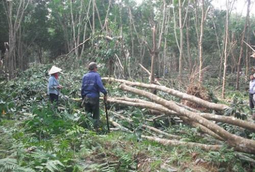 Một cánh rừng cao su ở Quảng Nam bị bão tàn phá (Ảnh: Đại Đoàn Kết)