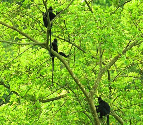 Voọc Hà Tĩnh – loài linh trưởng quý hiếm toàn cầu tại Vườn Quốc gia Phong Nha – Kẻ Bàng (Ảnh: VQG PN – KB cung cấp)