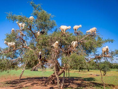 Ở Moroc, cừu leo lên cây để ăn quả. Đối với dân địa phương đây là điều bình thường nhưng với dân du lịch thì đây thực sự là điều sốc (Nguồn: Lonely Planet)