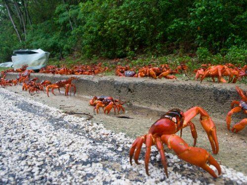 Hành trình tìm về biển của 120 triệu con cua đỏ. Hành của chúng bắt đầu từ rừng, băng qua đường quốc lộ để ra Ấn Độ Dương, tại đây, chúng sẽ đẻ chứng khi có thủy triều lên cao. (Nguồn: Huffington Post)