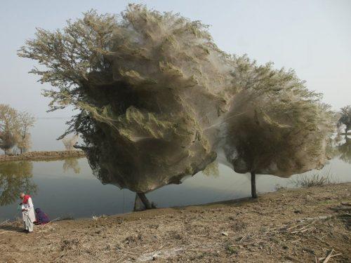 Sau một trận lũ ở Pakistan năm 2010, hàng triệu con nhện đã bám vào cây và kết tơ vào cành. (Nguồn: National Geographic)