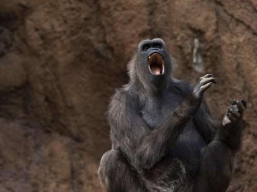 Khỉ có thể giao tiếp rất tốt với những người chăm sóc mình bằng hệ thống ngôn ngữ dấu hiệu (Nguồn: MSN)