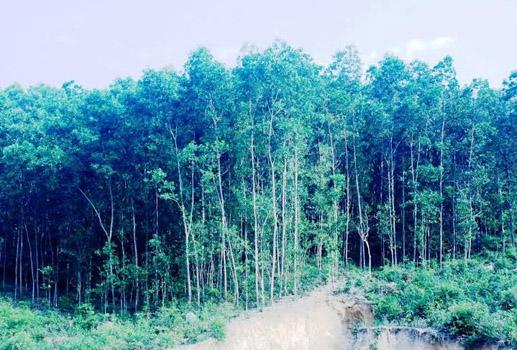 Quảng Nam: Sẽ tịch thu rừng trồng trái phép và vô chủ