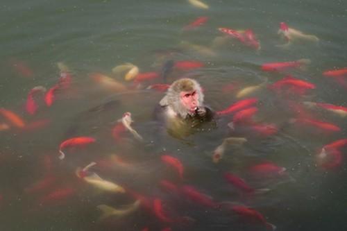 Theo các nhân viên ở vườn thú, khỉ thường tới gần hồ để uống nước và họ hiếm khi thấy khỉ lao thẳng xuống hồ cá (Nguồn: CCTV)