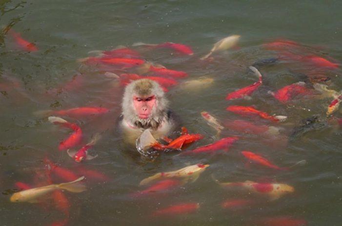 Lạ lùng cảnh khỉ nhảy xuống hồ nước để giải nhiệt và bắt cá ăn