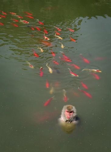 Con khỉ được cho là đã ăn thịt ít nhất một chú cá trong hồ (Nguồn: CCTV)