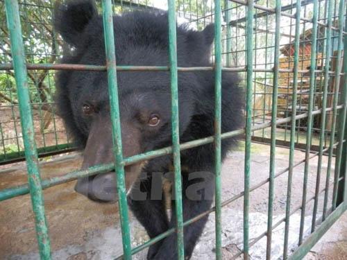 Quảng Ninh chưa hoàn tất việc đưa gấu về trung tâm cứu hộ Tam Đảo