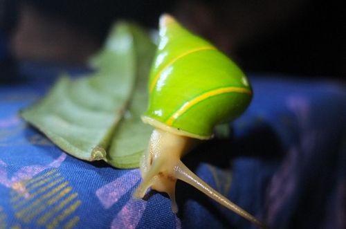 Loài ốc xanh lá cây (Ảnh: conservationmagazine.org)