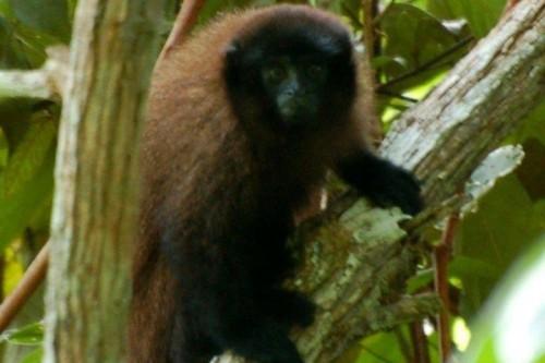 Khỉ titi nâu Urubamba (Ảnh: Proyecto Mono Tocón)