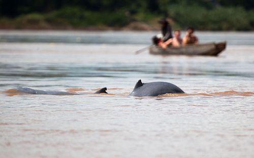 Đập thủy điện đe dọa những con cá heo Mê Kông quý hiếm