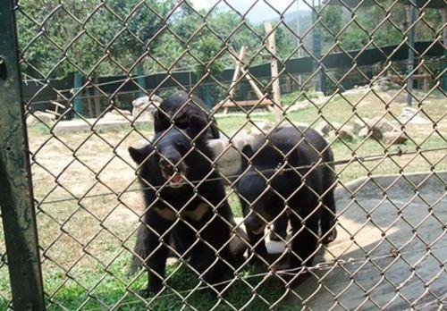 Phần lớn mật gấu nuôi đều bị nhiễm trùng nặng