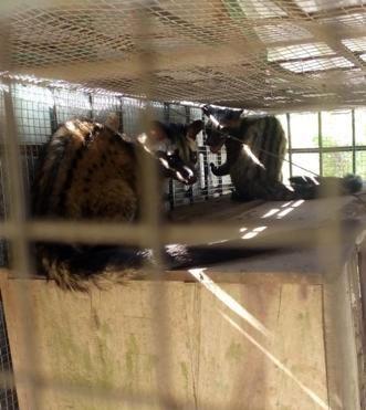Các cá thể cầy còn sống được chuyển cho lực lượng cứu hộ chăm sóc và thả về môi trường tự nhiên(ảnh do kiểm lâm cung cấp).