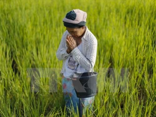 Cánh đồng lúa ở Khon Kaen, Thái Lan ngày 14/9 (Nguồn: Reuter/TTXVN)