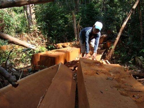 Việc tàn phá rừng tại Gia Lai diễn biến phức tạp (Ảnh Đ.V)