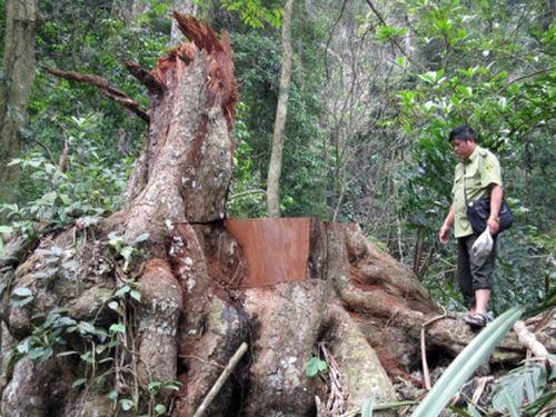 Ngăn chặn tình trạng phá rừng tại Khu BTTN Kim Hỷ (Bắc Cạn)
