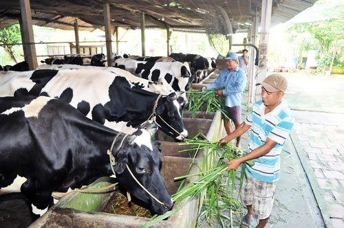 Ngành chăn nuôi sẽ gặp khó khăn khi TPP có hiệu lực (Ảnh: Cao Thăng/SGGP)