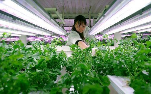 Nhà kính trồng rau xanh tại khu mỏ Kupol có thể cung cấp được khoảng 25kg rau tươi mỗi ngày. Tuy nhiên, những thực phẩm khác phải được đặt trước 2 năm mới có, bởi tuyến đường vận chuyển tới khu mỏ này chỉ hoạt động trong thời gian từ tháng 1 đến tháng 4 hằng năm.