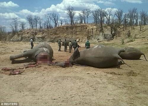 Xác những con voi nằm ngổn ngang trong Công viên quốc gia Hwange (Nguồn: Reuters)