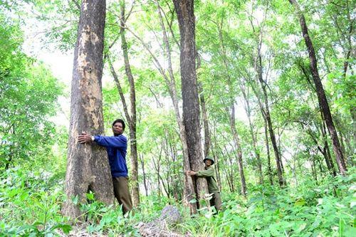 Rừng gỗ giáng hương ở Gia Lai