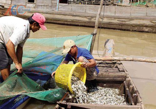 Cá chạy đáy sụt giảm hơn 50% sản lượng