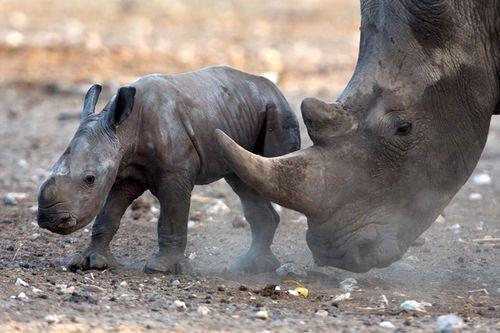 Tòa án Nam Phi bất ngờ bãi bỏ lệnh cấm buôn bán sừng tê giác