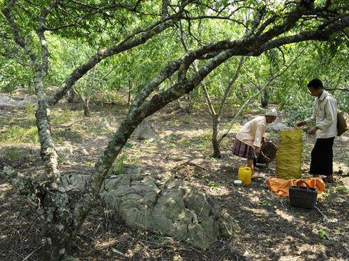 Nông dân Mộc Châu đưa nhiều cây giống bản địa như: Đào, tre, ban... vào trồng rừng để vừa tăng độ che phủ, vừa phát triển kinh tế. Ảnh: Thu hoạch đào tại xã Tân Lập (Ảnh:L.H.T)