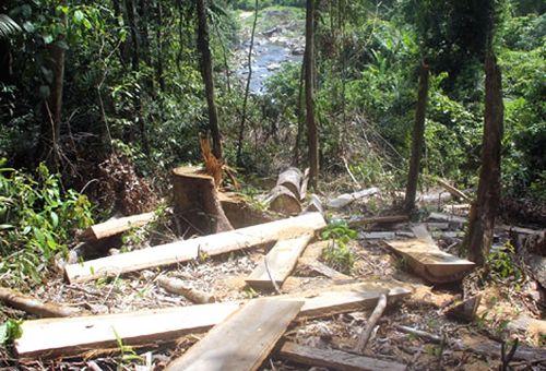 Một bãi gỗ đã cưa xẻ tại rừng tự nhiên trên đường vào khe 39, thôn 5, Phước Hòa, Phước Sơn.