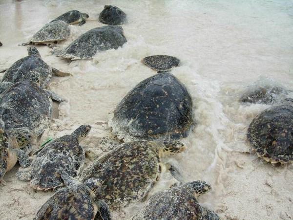 Hàng nghìn con rùa sắp tuyệt chủng đến bờ biển Nicaragua đẻ trứng