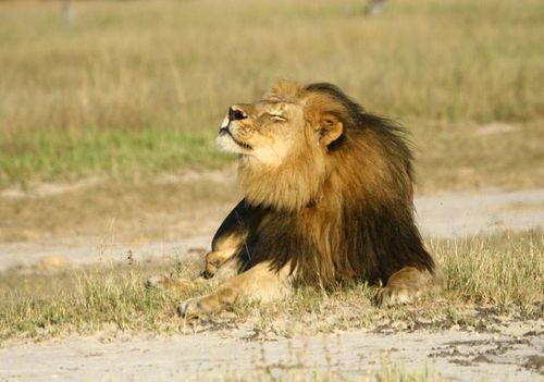 Chú sư tử Cecil - biểu tượng của loài sư tử châu Phi - đã bị giết bởi một thợ săn vào tháng 6, 2015. (Ảnh: Andrew J. Loveridge, Đại học Oxford)