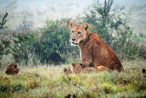 Ước tính 50% số cá thể sư tử bị suy giảm từ năm những năm 1990. (Ảnh: Udayan Dasgupta)