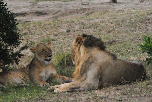 Mặc dù thiếu kinh phí, nguồn lực và dữ liệu, các nhà nghiên cứu tin rằng vẫn còn cứu được loài sư tử. (Ảnh: Udayan Dasgupta)
