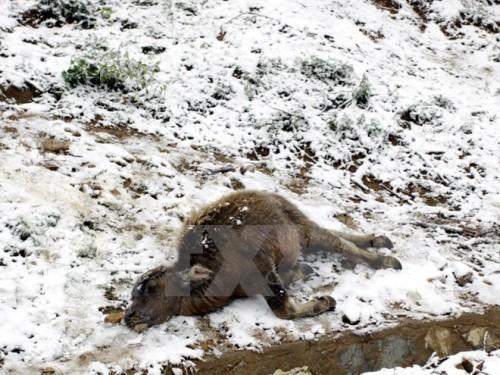 Gia súc bị chết do rét đậm, rét hại tại Sa Pa (Ảnh: Quỳnh Trang/TTXVN)