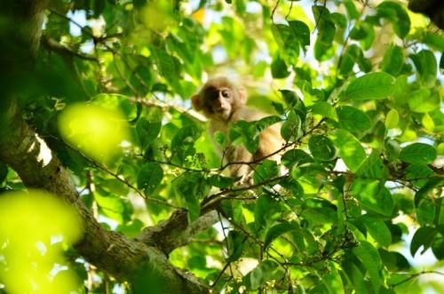 Khỉ vàng con tò mò quan sát nhóm nghiên cứu đang chụp hình mình