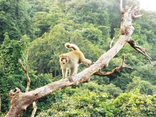 Khỉ vàng ở Sơn Trà thích lên các cây khô ngồi một mình để nhìn môi trường sống sinh đẹp