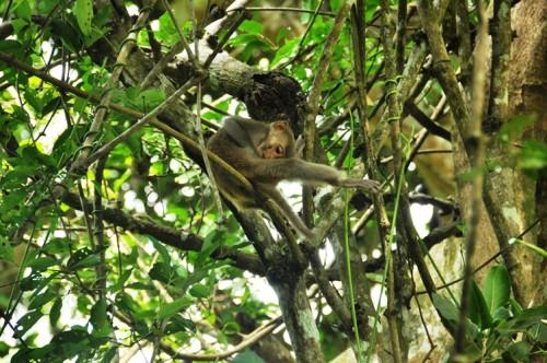 Một kiểu gãi tự xướng của khỉ vàng