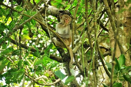 Cá thể khỉ vàng này tò mò muốn lấy miếng bánh của du khách lên Sơn Trà