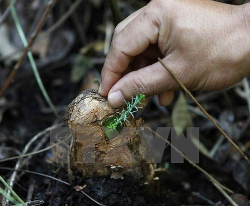 Nhân giống, bảo tồn cây thông nước (Ảnh: Dương Giang/TTXVN)