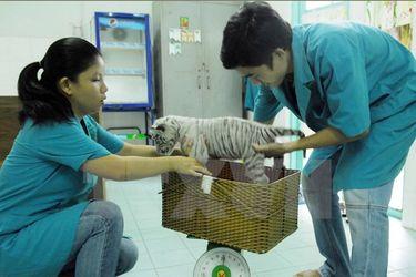 Việt Nam đã bảo tồn, nhân giống thành công hổ Bengal trắng quý hiếm (Ảnh: Mạnh Linh/TTXVN)