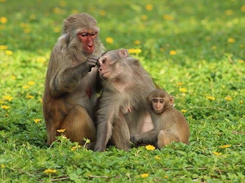 Chẳng những dạy cho con cách dùng thuốc, khỉ còn dạy cách bắt chí để vừa tỏ tình đoàn kết vừa làm sạch da (Ảnh: Kỳ Nam)