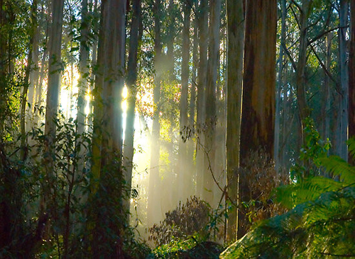 Rừng nguyên sinh Dandenong có diện tích 1.900 ha  (Ảnh: blogspot)