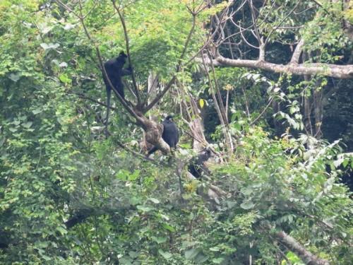 Voọc gáy trắng tại Khu thả linh trưởng bán hoang dã núi đôi, Vườn Quốc gia Phong Nha-Kẻ Bàng (Ảnh: Mạnh Thành/TXVN)