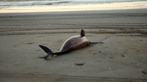 Argentina: 23 cá heo chết bất thường trên bờ biển Buenos Aires