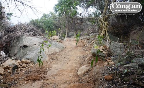 """Nhiều cây xoài, mít mới được trồng trên đường vào tiểu khu 62 mà các đối tượng phá rừng gọi là """"trồng thay thế""""."""