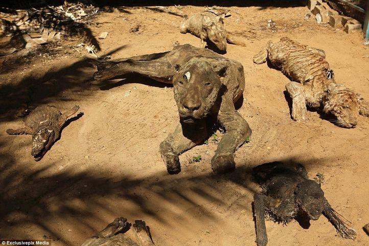 La liệt xác động vật chết khô tại vườn thú bi thương nhất