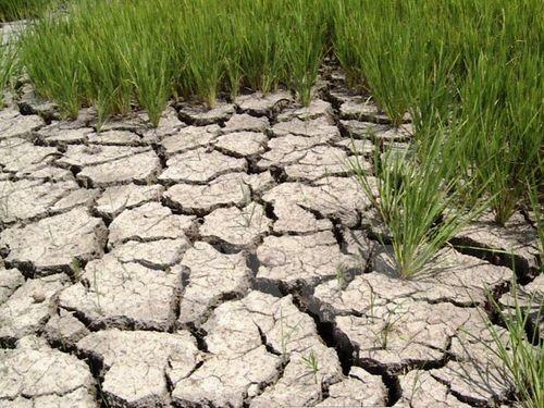 Cánh đồng lúa bị cháy vàng, chân ruộng nứt toác tại Gia Lai (Ảnh: Hoài Nam/TTXVN)