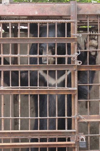 Tịch thu một con gấu nuôi nhốt trái phép tại Sơn La