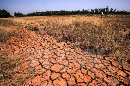 Khô hạn và xâm nhập mặn tàn phá Kiên Giang (Nguồn ảnh: TTXVN)