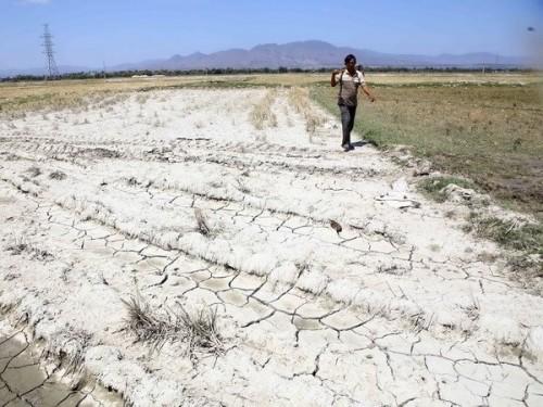 Cánh đồng lúa thị trấn Phước Dân, huyện Ninh Phước phải dừng sản xuất vụ Đông Xuân do thiếu nguồn nước (Ảnh: Minh Quyết/TTXVN)
